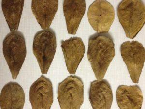 Frunze Catappa 50gr
