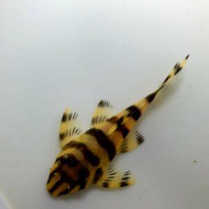 L134 Peckoltia compta