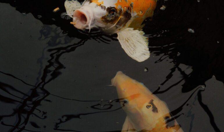 nutriția ideală pentru peștișorii de acvariu